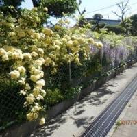 藤の花と木香バラ