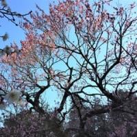 百草園まで徒歩で~梅と寒咲アヤメ