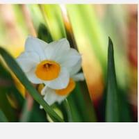 前の畑の片隅に、ひっそりと水仙の花が咲いてくれていました……