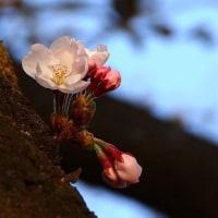 風が強くて寒かったあ・・・・桜が咲いた