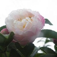 雨の中のアベリアと淡いピンクの山茶花