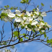 桜から「ハナミズキ」へ