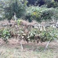 大豆の株の天日干しを始めました