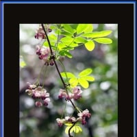 五葉の木通の花