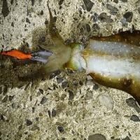 カゴ釣りでアジのち市内ショアブリ