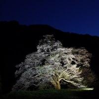 阿智村の一本桜
