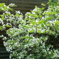 桜並木が新緑へ