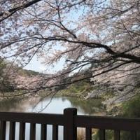 桜も満開になりました~🌸