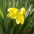 ラッパ水仙が咲いた