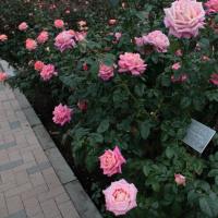 神代植物公園のバラ2011秋542