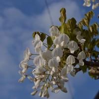 ウオーキング、出合った花(4/25)