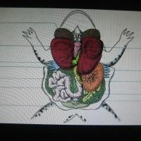 カエルの解剖
