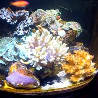 水槽で起きていること1月10日 アクアテイラーズ訪問 カタトサカ&ハナヤサイサンゴ