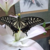 アゲハチョウの幼虫の近況