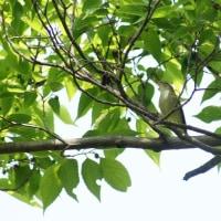 大阪城公園探鳥会 5月