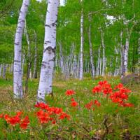 白樺林を彩る
