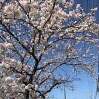 桜満開🌸!新作タルトの紹介