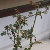 ☆キモッコウに蕾&開いたバラの新芽