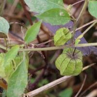 ヒロハフウリンホオズキ(ナス科・ホオズキ属)一年草