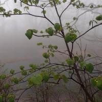 霧の乙和池:オオカメノキの向こうに・・