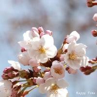 3月30日の市内の桜開花状況で~す