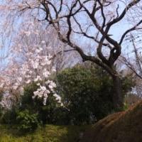 早咲きの枝垂れ桜