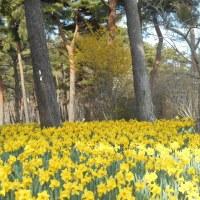 スイセン咲く海浜公園春告げる