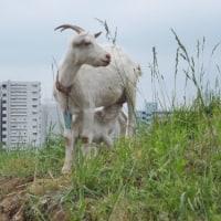 立川のヤギさんたち