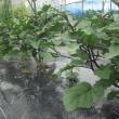茄子畝の補強