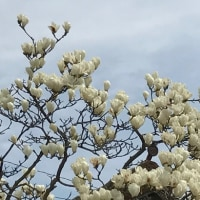 白木蓮と紫木蓮