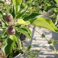 鉢植えのつがる(りんご)収穫です