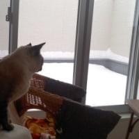 雪の朝の猫