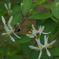 ヒョウタンボク【瓢箪木】とトベラ【扉】の花
