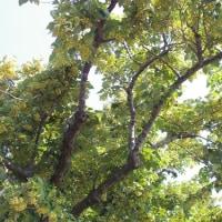 千葉県茂原市、粟生野立円寺の菩提樹です!!