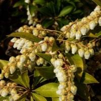 アシビの花が咲き始め…多摩川春景色シリーズ
