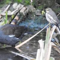 大堀川周辺の野鳥_バン(鷭)・・その2