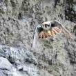 今日の鳥 ハヤブサ 成鳥と幼鳥