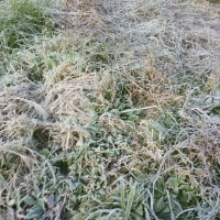 今朝は大霜