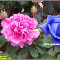 image2374 薔薇園で2