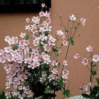 秋明菊(しゅうめいきく)という花