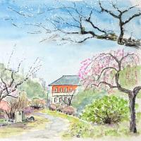 寒い風の中で梅は春を呼んでいます(小石川植物園のスケッチ)