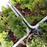 #菜園療法で健康管理❣️メンテナンス訪問で‥#ベビーリーフさんたち👏