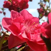 桃の花 おしべ