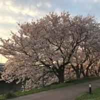 桜 咲く道
