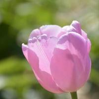 淡いピンク色のチューリップ