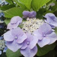 紫陽花は虹色?というおめめ
