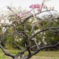 五日前に撮りました これは桜?