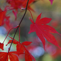 桜が丘公園の真っ赤な紅葉