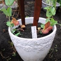 ツタンカーメンのエンドウ豆が育っています!!