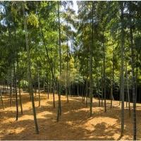 京都・洛西竹林公園/竹林の光と影
